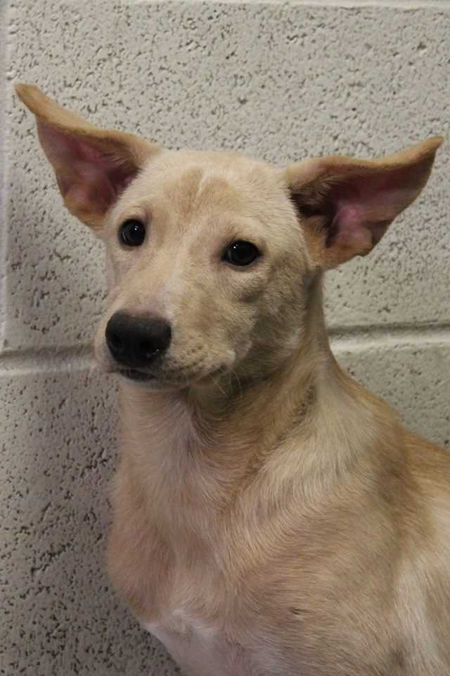 My name is Indira! I am a 5 month old spayed-female mixed-breed. I was rescued from the streets of Puerto Rico. I am extremely timid and wary of people. I should only be adopted to a highly dog-savvy home with the patience and understanding I need to feel comfortable and to learn to trust you. It would be great if I could go to a home with another dog! Currently, the staff are working on approaching and petting me with lots of treats, but I'm not totally convinced I can trust people yet. Please contact the shelter staff by phone at (978) 443-6990 or email at info@buddydoghs.com, or visit us during our regular business hours at 151 Boston Post Road in Sudbury, MA.