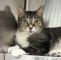 My name is Maisy! I am a 2 year old spayed female DSH. My owner said I am a sweet loving cat but I should NOT be placed with a dog or children. I need a quiet home where I will not be stressed. I have LOTS of good qualities and I hope you will ask about me in the front lobby. Please keep me as an indoor only kitty. Please contact the shelter staff by phone at (978) 443-6990 or email at info@buddydoghs.com, or visit us during our regular business hours at 151 Boston Post Road in Sudbury, MA.