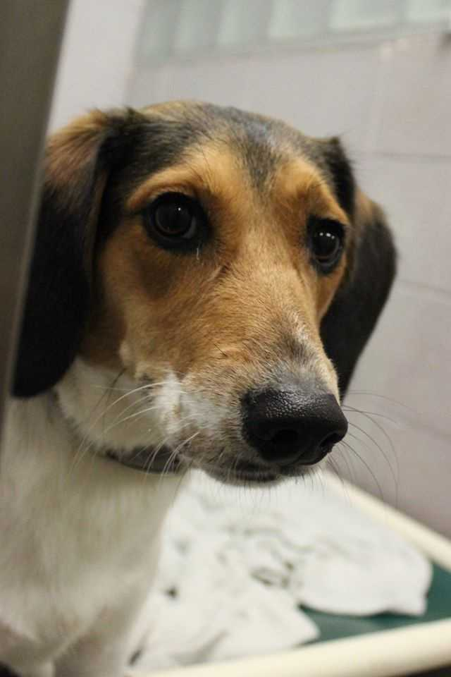 My name is Pepper! I am a 2 year old neutered male hound mix. I am an active boy, but can be a bit nervous, therefore I can not live with children. I am good with other dogs and love to play. Please contact the shelter staff by phone at (978) 443-6990 or email at info@buddydoghs.com, or visit us during our regular business hours at 151 Boston Post Road in Sudbury, MA.