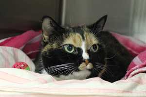 My name is Pixie! I am an 8 year old spayed female DSH. My family came upon hard times and couldn't take care of my, so I came here to find a new family. I am pretty scared right now and will need some time to adjust. A patient and quiet adult home that has had cats before would be best. Please contact the shelter staff by phone at (978) 443-6990 or email at info@buddydoghs.com, or visit us during our regular business hours at 151 Boston Post Road in Sudbury, MA.