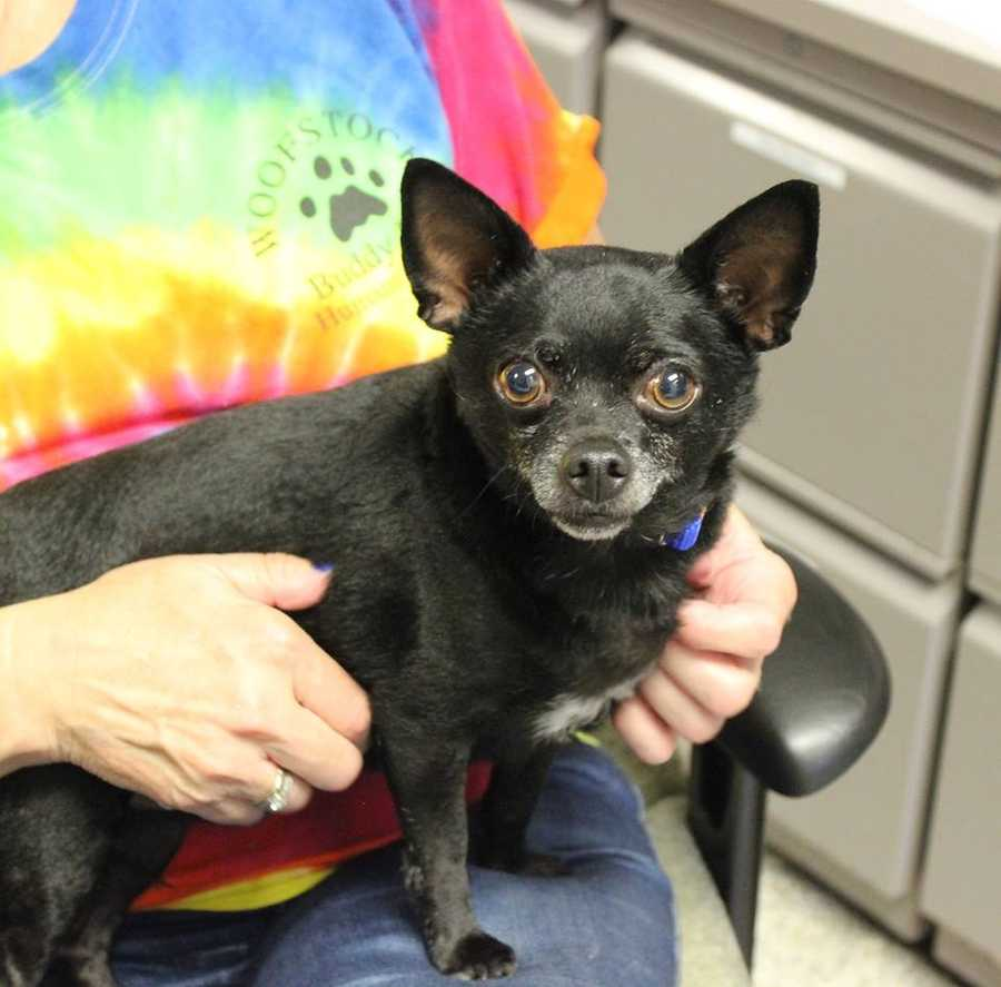 My name is Snoop E. Dog! I am a 6 year old neutered male Chihuahua. I am an excitable and playful guy. I am very sweet but I can also be strong-headed and wary of new people. I was part of a loving home, but sadly my owner passed away. I would love to be part of a family who will dote on me and play ball with me! I am pee-pad trained and walk well on a leash. Please contact the shelter staff by phone at (978) 443-6990 or email at info@buddydoghs.com, or visit us during our regular business hours at 151 Boston Post Road in Sudbury, MA.