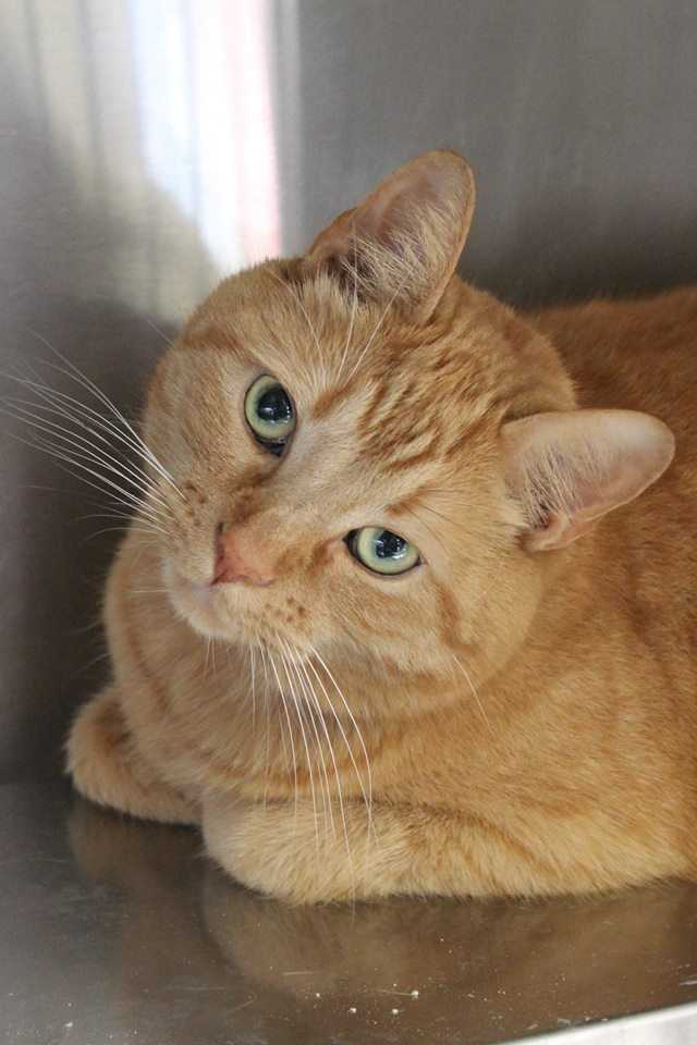 My name is Tiger! I am a 7 year old neutered male DSH. I was very loved by my former owner but I had too much energy for her. I am a wonderful orange boy who is absolutely used to staying inside. Please help me find a loving family. Could it be you?? Please contact the shelter staff by phone at (978) 443-6990 or email at info@buddydoghs.com, or visit us during our regular business hours at 151 Boston Post Road in Sudbury, MA.