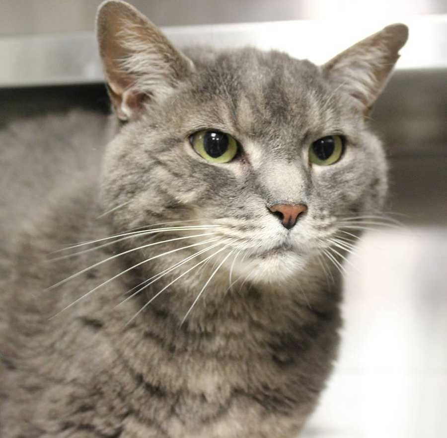My name is Girlie! I am a 12 year old spayed female DSH. I am a sweet, older girl who is looking for a retirement home. I love to cuddle and be with my people, but am not much of a player. If you are looking for someone to share your couch-I am your Girlie! Please contact the shelter staff by phone at (978) 443-6990 or email at info@buddydoghs.com, or visit us during our regular business hours at 151 Boston Post Road in Sudbury, MA.