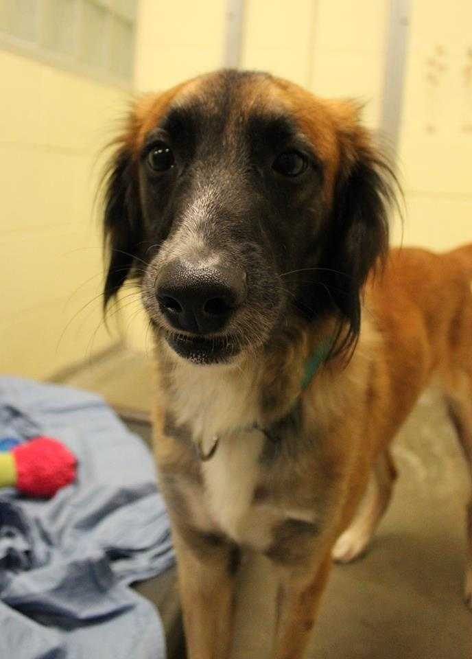 My name is Rocco, and I am a 1.5 year old male Saluki mix. I came all the way from Qatar, in the Middle East. I was living there as a stray, and found my way to the home of a dog lover! She and her friends saw how sweet and friendly I was, and decided that they had to help me find a new home in the US. Please contact the shelter staff by phone at (978) 443-6990 or email at info@buddydoghs.com, or visit us during our regular business hours at 151 Boston Post Road in Sudbury, MA.