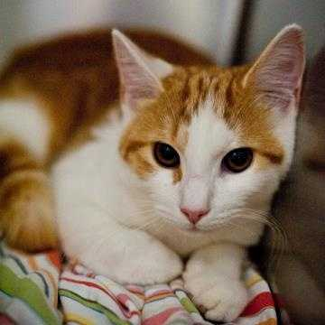 Cruz is one handsome man! He is a little shy at first but quickly warms up to his new human friends. Cruz has a very loud purr and enjoys with his toys. He would do well with a confident cat to show him the ropes. Children do scare him so an adult home is preferred. MORE