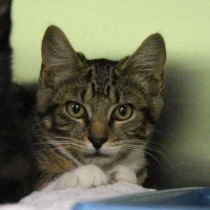 Mozzarella came in with her siblings (also named after some delicious cheeses), and she is ready to find her forever home. Mozzarella and her siblings are all on the shyer side, and would love to find a home with another cat friend. They will need a patient home willing to give them love. MORE