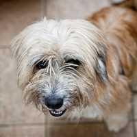 Fraggle is a two-year-old terrier mix whose adorable face and winsome personality will win your heart. He might look like a Wheaten Terrier, but he is a mix breed and is probably not hypoallergenic. According to his foster family, he loves to play, especially with his ball, but is also just as happy to sit quietly by your feet while you're busy with other things. He also loves to go for walks in areas where it's quiet and he isn't worried about lots of people and other dogs. MORE