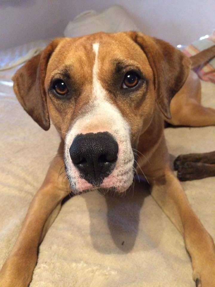 Tuffy: 2 years, 55 lbs, hound mix. Tuffy is an energetic boy looking for an active family. He is good with other dogs and kids, house and crate trained! MORE