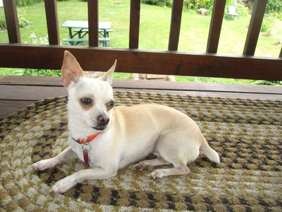 Rosie: 2 years, 7 lbs, chihuahua mix. Rosie loves to snuggle and be with her humans. She is good with other dogs, would do best with older kids because she is a little shy at first, and she is crate trained. MORE