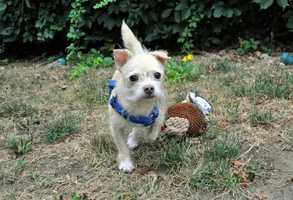 Hi everyone! My name is Alex and I'm a friendly, adorable 5-year-old Norfolk Terrier Mix boy. I'm social and affectionate, and I love playing with squeaky and stuffed toys. I do need to work on sharing toys and food, though, so maybe I can go to Beginner's Obedience classes with my new person or people to help me continue to learn good doggie manners. MORE