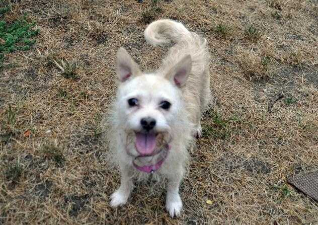 Hi! I'm Benny, a Norfolk Terrier / Chihuahua mix boy who's 5 years of age and ready to go to a peaceful home with somebody patient and playful. At first I'm shy, but I like having somebody nice around and getting to know them by checking in with them and receiving some gentle pets every couple of minutes while I explore my surroundings. MORE