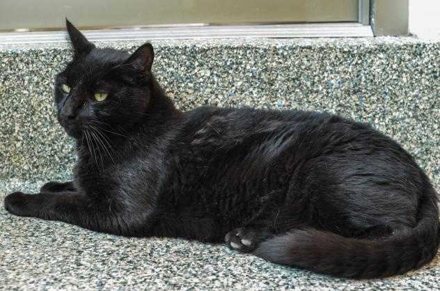 Hi, my name's Kooka Bear! I came here because my owner lost their apartment and can no longer care for me. I'm a gentle giant. I am happy to meet your friends and love to play. I have a sleek black coat and beautiful green eyes. I've lived with my kitty friend, Priscilla and we got to be great pals. We don't need to stay together but it would be nice. I look forward to being your new best pal. MORE