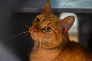 Hi, I'm Marmalade!! I love my people friends, I am very social and affectionate and love to be by your side. I enjoy anything that you are doing and I even like to be picked up so I can be even closer to you. I really love it when you pet me and scratch behind my ears, in fact, when you stop, I will probably tap you on the hand just to make sure you don't want to give me just a few more scratches. MORE
