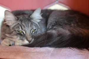 Hi, I'm Mittens! I'm a fluffly, cuddly mellow cat that loves to snuggle, purr, and sit on your lap. When I'm not cuddling with you, I also like to play with toys or take naps. I'd love to be your only pet in the house so that I can be your shining star. In order to keep me silky and beautiful, frequent brushing is recommended. MORE