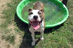 Hello there! I'm Princess, a gorgeous brindle girl with elegant white boots. I am a very playful 7 month old - I love playing with balls and squeaky toys and running around the play yards at the adoption center. Toys are definitely my thing! I'm very social and like spending time with people. I have a lot of energy and will grow up to be a big dog - just look at my paws! I am looking for an adult only home that has time to dedicate to me. MORE