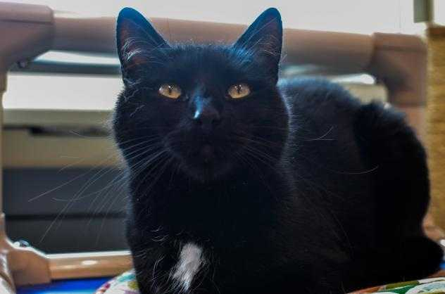 Hi, my name's Priscilla! I came here because my owner lost their apartment and can no longer care for me. I'm a sweet lady. I am very playful and love to chase string and ribbon. love to play. I have a shiny black coat and green sparkling eyes. I've lived with my kitty friend, Kooka Bear and we got to be great pals. We don't need to stay together but it would be nice. MORE
