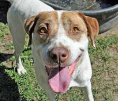 Hi everyone! I'm Randy, a sweet and friendly seven-year old male Labrador Retriever Mix. I am an adorable guy with a big smile and gentle disposition. Here at the shelter, I enjoy going for walks, hanging out outside, and getting lots of love from the staff and volunteers! I'm looking forward to finding my forever home where I can get daily time outside and lots of quality time with my family when we're inside. MORE