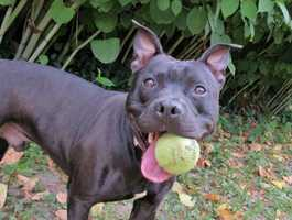 Hello there! I'm Rocky, a handsome 2-year-old black pup with a dazzling smile! Did I mention that I love toys? Well, I do! Especially toys that squeak! And I love playing, and running around. I would be overjoyed to have a nice long walk or two and lots of play time outside every day. I would be happiest in an active household with adults and older children. MORE