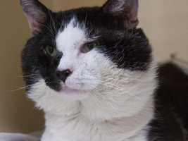 Hi! My name is Scar!! I am a sweet boy who can't wait to find my forever family!! I was found outside by a nice person who thought I deserved to live inside with a nice warm window and people who love me so they brought me here! All my surroundings are quite new and different so it may take me a minute to warm up to you. I love getting scratches behind my ears and on top of my head but let me warm up to you before you try giving me pets elsewhere. I am also FIV+ so please talk to a staff member about what that means for us. MORE