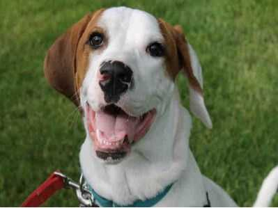 Jack is a big, young, exuberant hound mix! He loves to get his exercise, either chewing on a toy or romping in the yard or going for a long walk. One of his favorite toys is a jolly ball - he rolls it around with his paws. Jack is very friendly, but doesn't realize that most people don't want to be greeted by being jumped up on. With a big boy like Jack, jumping up is a lot for kids, so he is looking for a home with sturdy teens and adults. MORE