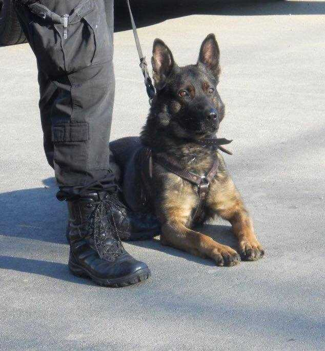 "The title ""K-9"" or ""K9"" is a homophone of the word canine."