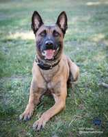 Some dogs are trained for search and apprehension, while others are trained foraccelerant-detection and explosives-detection.