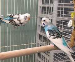 Sunny and Poppy are a bonded pair of 2 year old, female parakeets. They need an adopter comfortable with working on their handling since they weren't hand-tamed when they were surrendered. If interested in adoption, please bring a picture of their future habitat. MORE