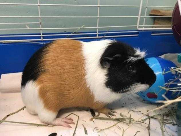 Meet Beast, our 3yr old male American Satin/White Crested mix! Beast was surrendered because his former owners lost interest in him. Like most guinea pigs Beast is a little more skittish when you try to catch him&#x3B; however, once you have him he is able to be handled with ease. He would benefit with experienced guinea pig owners who could help Beast build up his confidence. He doesn't have a history of living with cats or dogs, but he did well with his former guinea pig buddy (who the owners rehomed) and has a history of living with kids. MORE