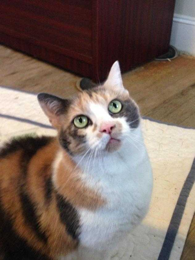 Meet Tabby, our 8 year-old dilute calico! She is very social, always wanting to be around you like a shadow! It's best to let her come to you so she can decide how much petting she wants. Her favorite past times include snuggling in her bed (or yours!) and tossing around toy mice. The ideal home for Tabby includes an owner that matches her personality and spends a good amount of time at home, she'd also needs to be the only pet. She currently resides in the director's office because she doesn't get along with the other cats in the shelter. MORE