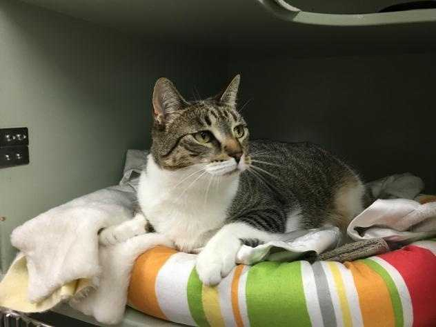A friendly and feisty female, Willow is 3 years old and needs a cat experienced home so they can read her body language and know when she's had enough. She likes to be brushed and to play with her scratching post. She'd prefer to be the only pet. MORE