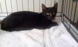 Hi! I'm Licorice. I am a 4 month old female, short haired black. She was found abandoned&#x3B; is still a bit scared but once you pick her up she purrs and enjoys the affection. She needs to be loved and allowed to adjust to being back in a safe home. MORE