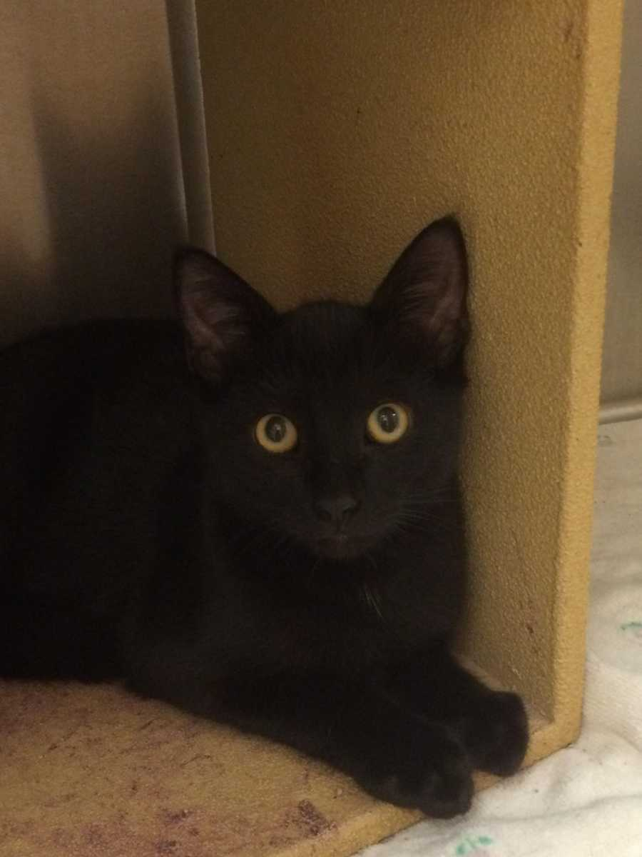Moonlight is a 3 month old domestic short hair black male. He is friendly and gets along well with other cats. He would make a great addition to your family. MORE