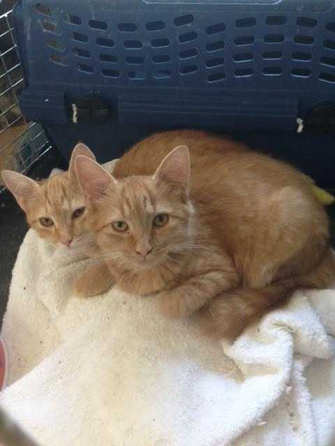 Mr. Handsome and Ariel will be adopted together as a pair. Mr. handsome is a 3-4 month old male, short haired orange tiger from a litter of 5 kittens. Ariel is a female of the same age. We are shy and might be a bit scared at first. MORE
