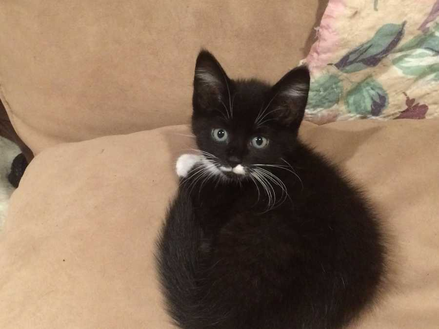 Vera is an eight week old domestic medium hair tuxedo female. She is very friendly and sweet and loves to play and wrestle with her siblings. She gets along well with other cats greets you when you come in. She would love to have another cat in the family to play with. MORE