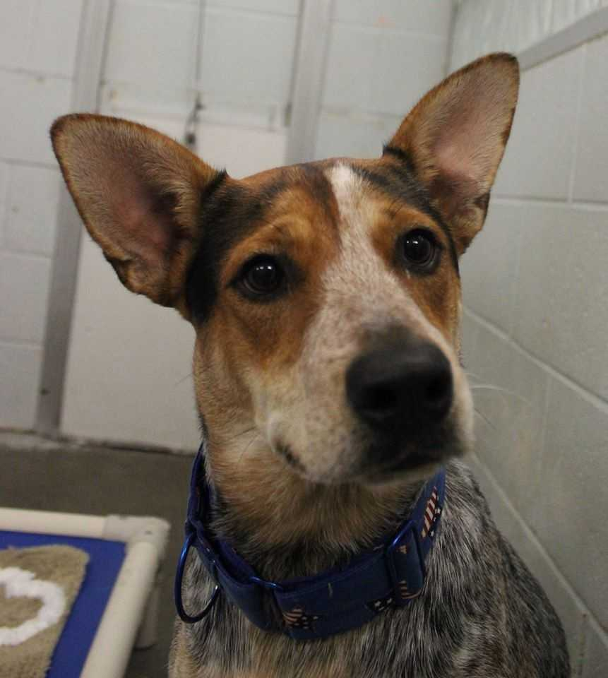 My name is Bongo! I am a 1 year old neutered male Australian Cattle Dog. I need to be part of an active household - I have a lot of energy and need to keep busy! Please contact the shelter staff by phone at (978) 443-6990 or email at info@buddydoghs.com, or visit us during our regular business hours at 151 Boston Post Road in Sudbury, MA.