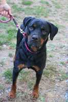 My name is Koda! I am a 4.5 year old neutered male Rottweiler. I am crate trained and housebroken. I am ok with some kitties and get along well with other dogs. I'm a sensitive soul and a big cuddle bug! Please contact the shelter staff by phone at (978) 443-6990 or email at info@buddydoghs.com, or visit us during our regular business hours at 151 Boston Post Road in Sudbury, MA.