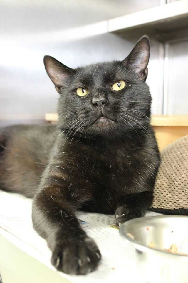 My name is Louie! I am a 3 year old neutered male DSH. I am a handsome cat that was brought here as a stray. At first I didn't know how I was supposed to behave so I was always on the defensive. But now I know the people here are nice and are trying to find me a good, indoors only home. I like being out of my cage and when I am out I just sit around and watch the world go by. I am okay with little quiet dogs but big dogs scare me. Besides being a sleek black kitty I am very nice. Please contact the shelter staff by phone at (978) 443-6990 or email at info@buddydoghs.com, or visit us during our regular business hours at 151 Boston Post Road in Sudbury, MA.