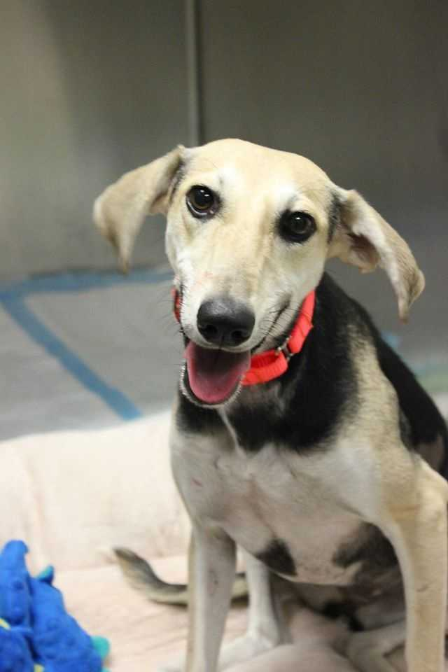 My name is Sally Sue! I am a 1.5 year old female Saluki mix rescued from Qatar. I am a gentle and sweet girl. I walk well on a leash, but as a sight-hound, I LOVE to chase anything that moves. I get along with most dogs and seem to be housebroken. Please contact the shelter staff by phone at (978) 443-6990 or email at info@buddydoghs.com, or visit us during our regular business hours at 151 Boston Post Road in Sudbury, MA.