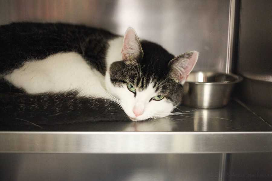 My name is Sam! I am a 5 year old neutered male DSH. I am a sweet boy, but can be a bit shy in new situations. I would do best in a home where people are patient with me and will give me time to settle in. Please contact the shelter staff by phone at (978) 443-6990 or email at info@buddydoghs.com, or visit us during our regular business hours at 151 Boston Post Road in Sudbury, MA.