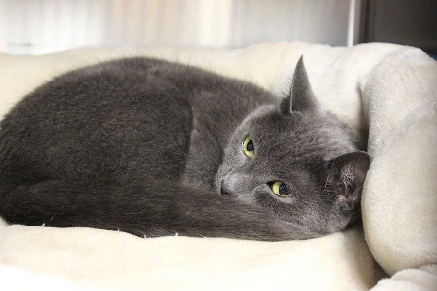 My name is Shadow! I am a 2 year old spayed female DSH. My family moved into a new apartment and could't take me along. I seem very friendly, and I am litterbox trained. Please contact the shelter staff by phone at (978) 443-6990 or email at info@buddydoghs.com, or visit us during our regular business hours at 151 Boston Post Road in Sudbury, MA.