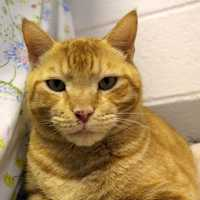 Meet this handsome large guy Pumpkin. Pumpkin is a great boy with a lot of love to give. He is used to living with one person but does like adults. Pumpkin needs a home with out other animals and no children. Pumpkin is quite talkative especially if he wants something. He is a lap cat and loves to purr. He does enjoy playing with his human friends or mice toys. Pumpkin is looking for an indoor/outdoor home only in a safe neighborhood and would love it even more if there was water where he can watch the birds. MORE