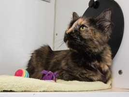 Ali is the cutest, prettiest I should say, girl! Just look at that face! Pictures don't even do her justice. She's a tortie long-hair with adorable fluffy paws. I just love her paws. She's very sweet and very affectionate. She's only 2 years old. She's looking for a new owner to cling to. She was very friendly with her past owner. Her owner described her as cuddly and very pretty. She's a very mature type of girl, not very good with kids. MORE