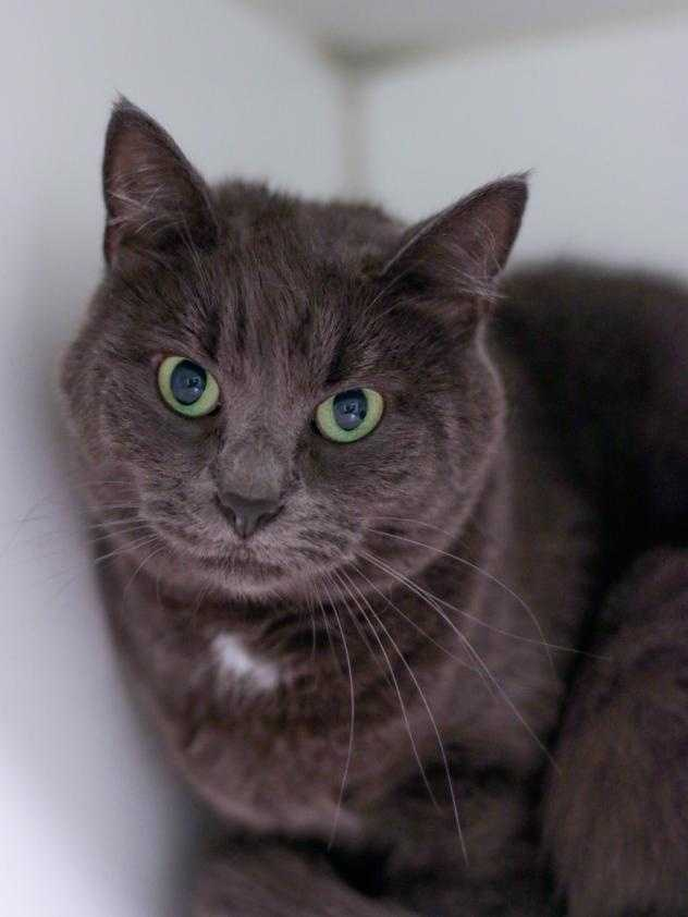 My name is Amber. My past owner described me as sweet and my MSPCA friends think so too! I'm looking for a quiet, no stress home preferably where I can be queen of the household with no other cats, dogs, or little kids. I come across very shy at first but I can be very affectionate. In fact, put your hand out and I'll head bump you and pet myself! MORE