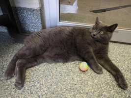 Ashes is a 6 year old gray streak of happiness! He is young and good looking, waiting for a new chance to shine and find his family. Ashes likes to be on your lap and hang out next to you. He loves to play and would appreciate all one on one attention with wand toys and the laser chase. Give this sweetie a catnip mouse and watch the fun! He has great manners and never scratches anything that doesn't belong to him. Ashes would like to live with older, gentle children. He does not want to live with another feline but may be okay with an older, mellow and not in his face dog. Ashes is an indoor cat. MORE