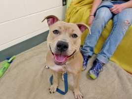 My name is Kaya, and I am a cheerful and outgoing 1 year old female Pittie mix who is full of fun and personality! I am a lively and playful girl and would make a wonderful companion for a family that enjoys fun activities with their pooch - going for a brisk jog, playing some games then chillaxing on the couch with you sounds like the perfect date to me! I am also very sweet and affectionate, I love to lean against you and give you lots of wiggly hugs! MORE