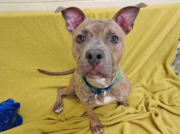 My name is Chappie and I'm social, energetic 1-year-old pittie girl. I love hanging with humans and I love playing with toys! I've met some other dogs here at the adoption center and gotten along with them, so I could go to a forever home with another canine companion. Just make sure you arrange a meet and greet between us with the staff here to make sure we're a good match. Because I'm so enthusiastic in showing my love for life and people, and can get too excited with a lot of handling, I should go to a home with older, dog-experienced children only. MORE