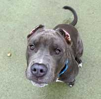 Meet Herman, an adorable 5-month-old pit mix! Herman is a very active guy who would not be a good match for a home with young kids. MORE