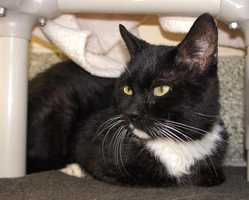 Hi! I'm Andre! I'm a very sweet older gentleman, I'm much more used to the company of cats than people so I need to go home with a buddy or to a home with a friendly, calm cat to help me feel comfortable in my new home. I look forward to meeting you! MORE