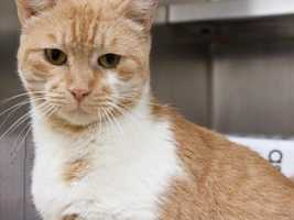 Hi I'm Bellatrix. I'm a beautiful orange tabby cat looking for a home where I can be the queen of the roost. I am an independent lady who keeps ot myszelf for the most part but will love you during food time. I would do best in a home either as the only pet or the ability to go inside and outside so that I can be by myself from time to time. I may also do well living in a barn, I think I would be a good mouser. If you think we may be a good match contact the MSPCA today. MORE
