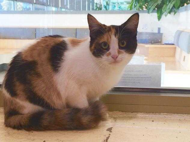 Hi, my name's Hillary! I'm a sweet young girl. I came from a house with too many cats, and I'm more used to being with other cats than with people. I'm a shy girl, and will need a patient person who can take time to get to know me. I need to live with one of my siblings or another cat. I can't wait to find my new home, where I can relax, settle in, and let my awesome personality bloom! MORE